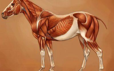 Muskelerkrankungen des Pferdes